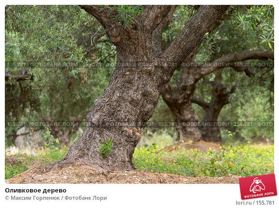 Оливковое дерево, фото № 155781, снято 20 мая 2007 г. (c) Максим Горпенюк / Фотобанк Лори