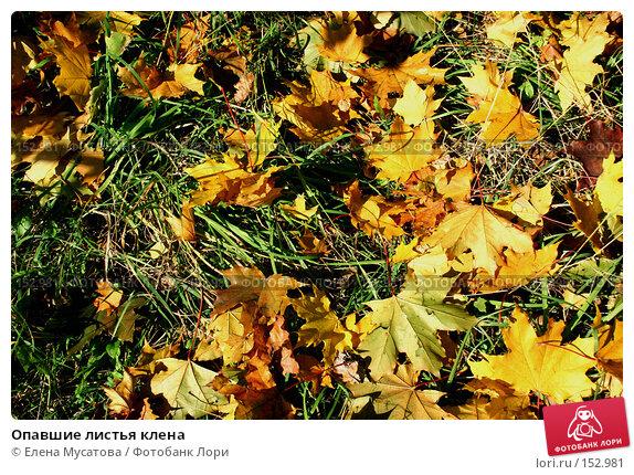 Опавшие листья клена, фото № 152981, снято 25 сентября 2006 г. (c) Елена Мусатова / Фотобанк Лори