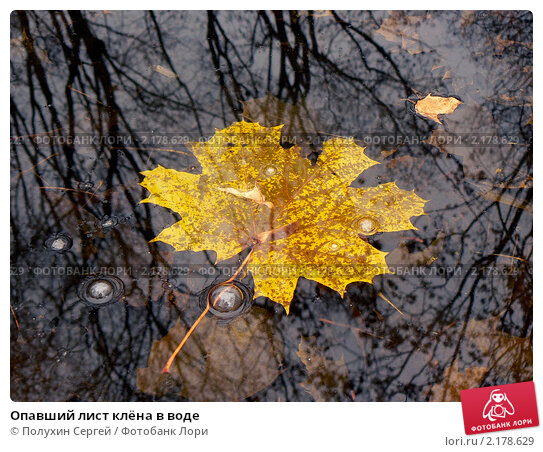 Опавший лист клёна в воде. Стоковое фото, фотограф Полухин Сергей / Фотобанк Лори