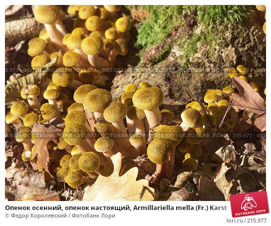Опенок осенний, опенок настоящий, Armillariella mella (Fr.) Karst, фото № 215977, снято 2 октября 2004 г. (c) Федор Королевский / Фотобанк Лори