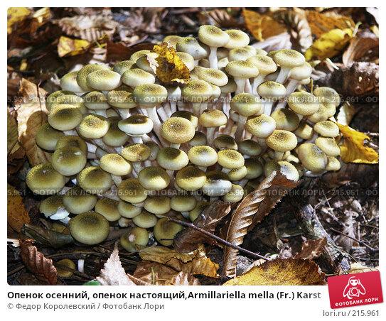 Опенок осенний, опенок настоящий,Armillariella mella (Fr.) Karst, фото № 215961, снято 9 октября 2003 г. (c) Федор Королевский / Фотобанк Лори
