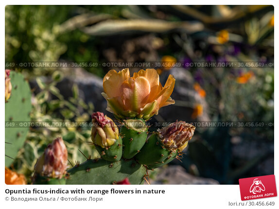 Opuntia ficus-indica with orange flowers in nature. Стоковое фото, фотограф Володина Ольга / Фотобанк Лори