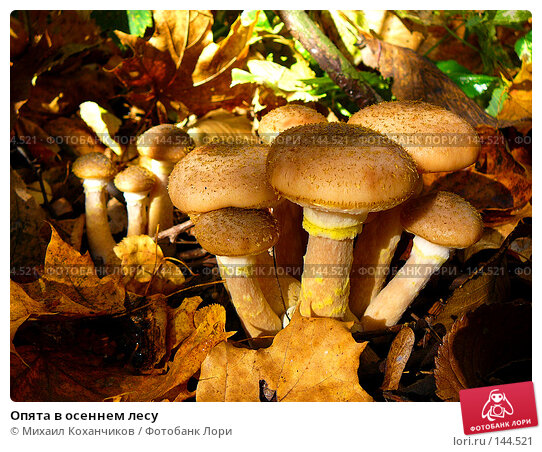 Купить «Опята в осеннем лесу», фото № 144521, снято 11 октября 2007 г. (c) Михаил Коханчиков / Фотобанк Лори