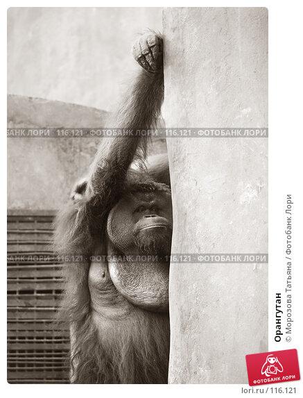 Купить «Орангутан», фото № 116121, снято 23 октября 2007 г. (c) Морозова Татьяна / Фотобанк Лори