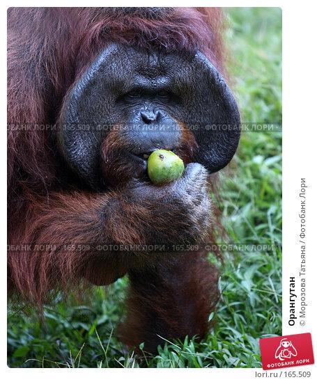 Орангутан, фото № 165509, снято 23 октября 2007 г. (c) Морозова Татьяна / Фотобанк Лори