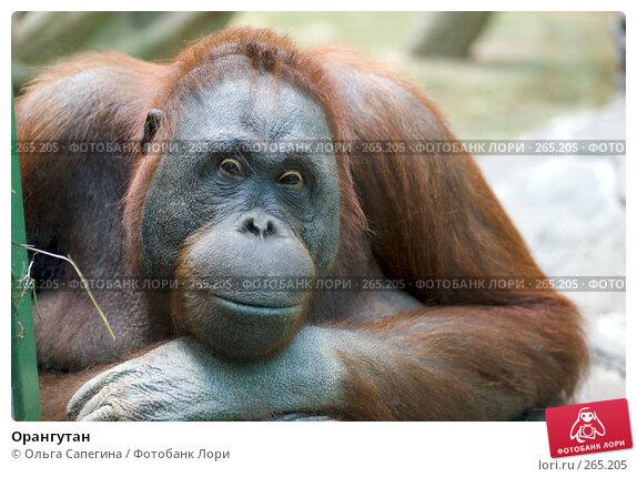 Купить «Орангутан», фото № 265205, снято 17 октября 2007 г. (c) Ольга Сапегина / Фотобанк Лори