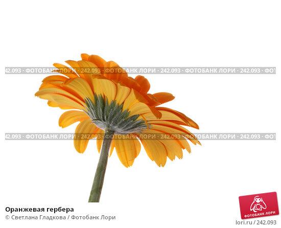 Оранжевая гербера, фото № 242093, снято 23 июля 2017 г. (c) Cветлана Гладкова / Фотобанк Лори