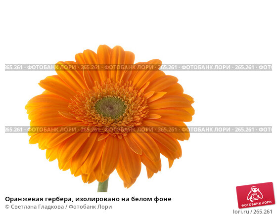 Оранжевая гербера, изолировано на белом фоне, фото № 265261, снято 7 марта 2008 г. (c) Cветлана Гладкова / Фотобанк Лори