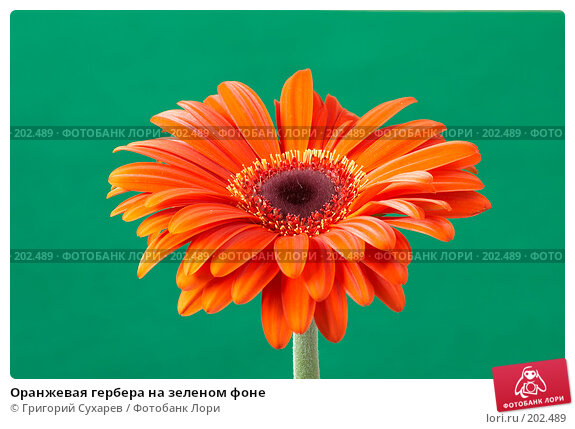 Оранжевая гербера на зеленом фоне, фото № 202489, снято 26 ноября 2006 г. (c) Григорий Сухарев / Фотобанк Лори