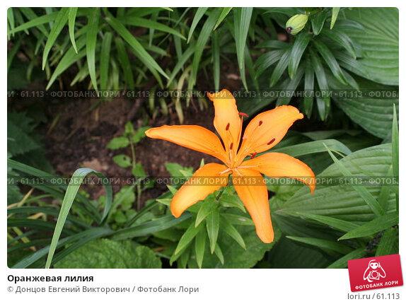 Оранжевая лилия, фото № 61113, снято 10 июля 2007 г. (c) Донцов Евгений Викторович / Фотобанк Лори