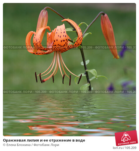 Купить «Оранжевая лилия и ее отражение в воде», фото № 105209, снято 22 марта 2018 г. (c) Елена Блохина / Фотобанк Лори