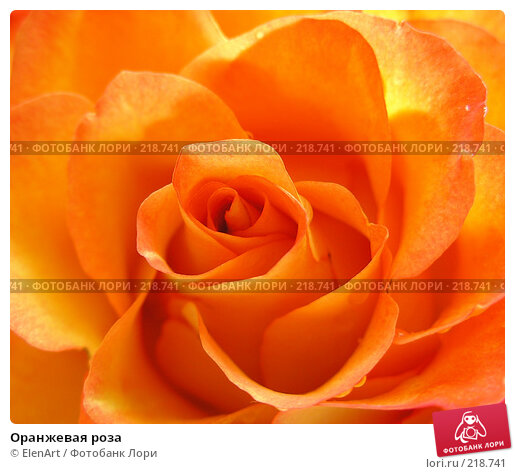 Оранжевая роза, фото № 218741, снято 18 января 2017 г. (c) ElenArt / Фотобанк Лори