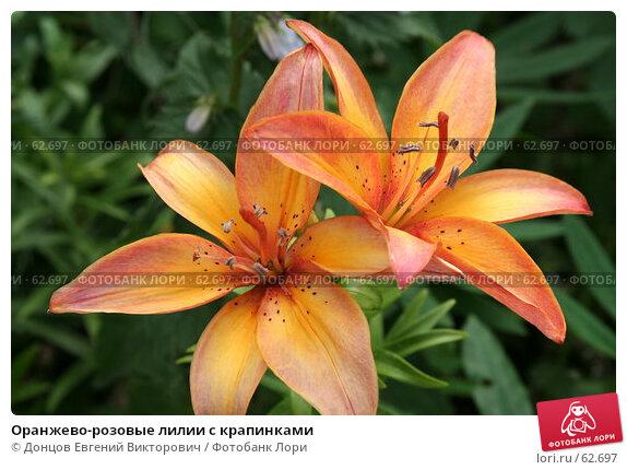 Оранжево-розовые лилии с крапинками, фото № 62697, снято 10 июля 2007 г. (c) Донцов Евгений Викторович / Фотобанк Лори