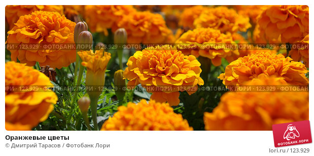 Оранжевые цветы, фото № 123929, снято 15 июля 2007 г. (c) Дмитрий Тарасов / Фотобанк Лори