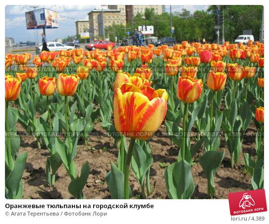 Оранжевые тюльпаны на городской клумбе, фото № 4389, снято 21 мая 2006 г. (c) Агата Терентьева / Фотобанк Лори