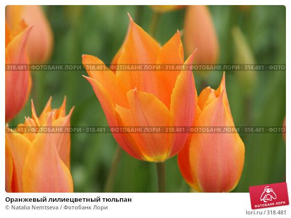 Оранжевый лилиецветный тюльпан, эксклюзивное фото № 318481, снято 8 апреля 2008 г. (c) Natalia Nemtseva / Фотобанк Лори