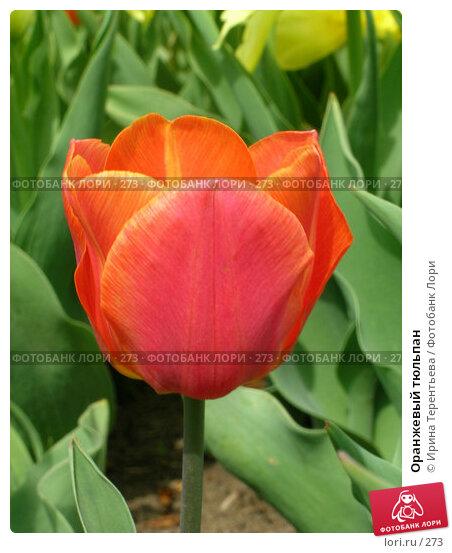 Оранжевый тюльпан, эксклюзивное фото № 273, снято 11 мая 2004 г. (c) Ирина Терентьева / Фотобанк Лори