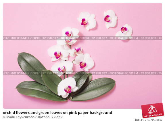 orchid flowers and green leaves on pink paper background. Стоковое фото, фотограф Майя Крученкова / Фотобанк Лори