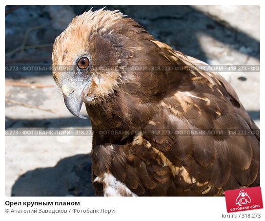 Орел крупным планом, фото № 318273, снято 30 мая 2006 г. (c) Анатолий Заводсков / Фотобанк Лори