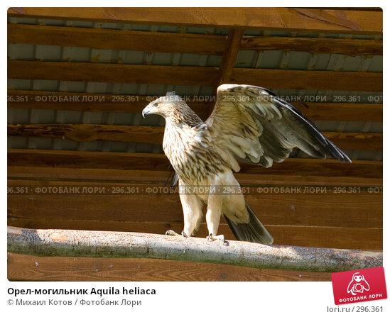 Купить «Орел-могильник Aquila heliaca», фото № 296361, снято 13 мая 2008 г. (c) Михаил Котов / Фотобанк Лори