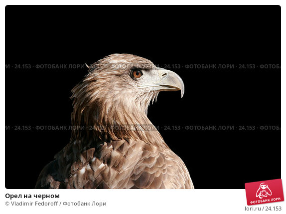 Орел на черном, фото № 24153, снято 16 сентября 2006 г. (c) Vladimir Fedoroff / Фотобанк Лори