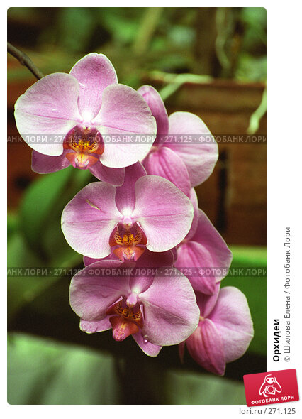 Купить «Орхидеи», фото № 271125, снято 23 апреля 2018 г. (c) Шилова Елена / Фотобанк Лори