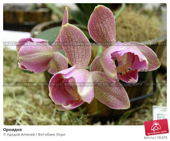 Орхидея, фото № 19673, снято 15 февраля 2007 г. (c) Удодов Алексей / Фотобанк Лори
