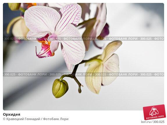 Орхидея, фото № 300025, снято 5 февраля 2006 г. (c) Кравецкий Геннадий / Фотобанк Лори