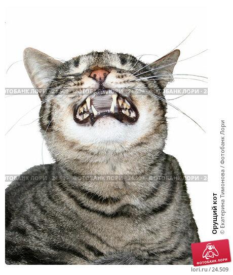Орущий кот, фото № 24509, снято 22 января 2017 г. (c) Екатерина Тимонова / Фотобанк Лори