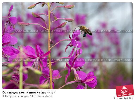 Купить «Оса подлетает к цветку иван-чая», фото № 169881, снято 8 июля 2007 г. (c) Петухов Геннадий / Фотобанк Лори
