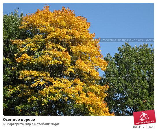 Осеннее дерево, фото № 10629, снято 24 сентября 2006 г. (c) Маргарита Лир / Фотобанк Лори