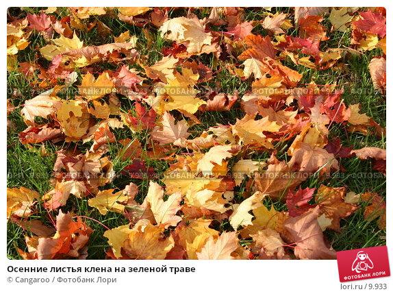 Осенние листья клена на зеленой траве, фото № 9933, снято 2 октября 2005 г. (c) Cangaroo / Фотобанк Лори