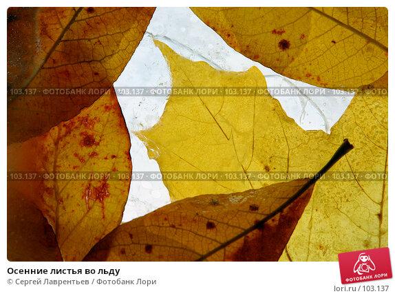 Осенние листья во льду, фото № 103137, снято 27 июля 2017 г. (c) Сергей Лаврентьев / Фотобанк Лори