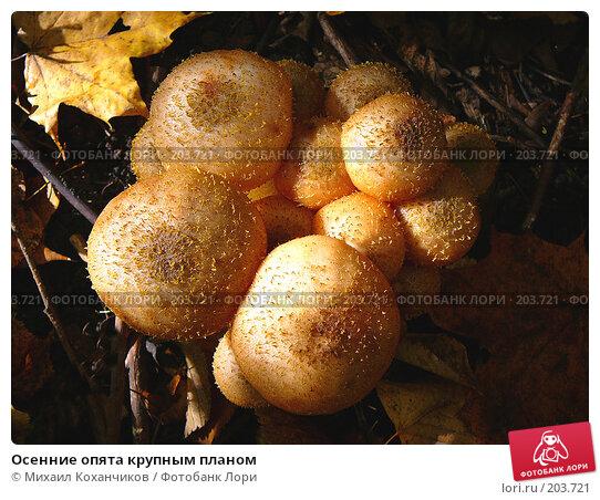 Осенние опята крупным планом, фото № 203721, снято 11 октября 2007 г. (c) Михаил Коханчиков / Фотобанк Лори