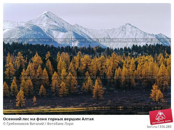 Купить «Осенний лес на фоне горных вершин Алтая», фото № 316289, снято 22 ноября 2017 г. (c) Гребенников Виталий / Фотобанк Лори