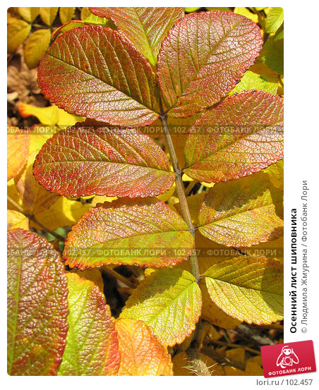Осенний лист шиповника, фото № 102457, снято 29 июня 2017 г. (c) Людмила Жмурина / Фотобанк Лори