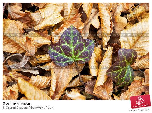 Осенний плющ, фото № 120901, снято 26 ноября 2006 г. (c) Сергей Старуш / Фотобанк Лори