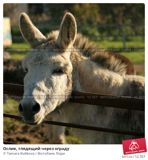 Ослик, глядящий через ограду, фото № 12357, снято 4 ноября 2006 г. (c) Tamara Kulikova / Фотобанк Лори