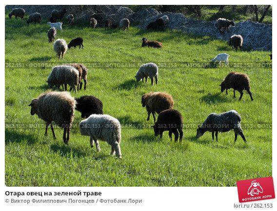 Отара овец на зеленой траве, фото № 262153, снято 27 апреля 2005 г. (c) Виктор Филиппович Погонцев / Фотобанк Лори