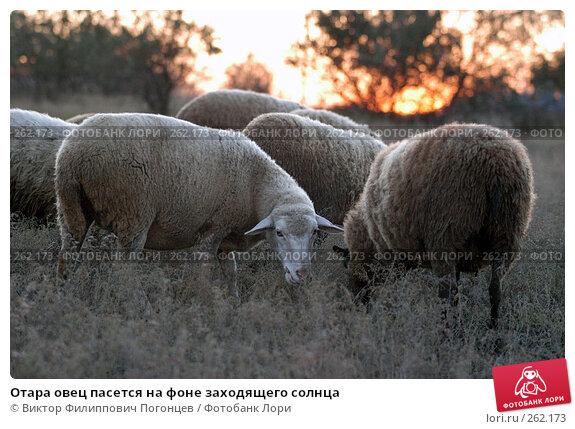 Купить «Отара овец пасется на фоне заходящего солнца», фото № 262173, снято 21 октября 2005 г. (c) Виктор Филиппович Погонцев / Фотобанк Лори