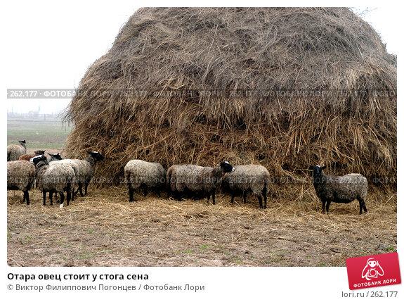 Отара овец стоит у стога сена, фото № 262177, снято 28 октября 2004 г. (c) Виктор Филиппович Погонцев / Фотобанк Лори