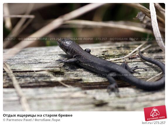 Отдых ящерицы на старом бревне, фото № 273257, снято 2 мая 2008 г. (c) Parmenov Pavel / Фотобанк Лори