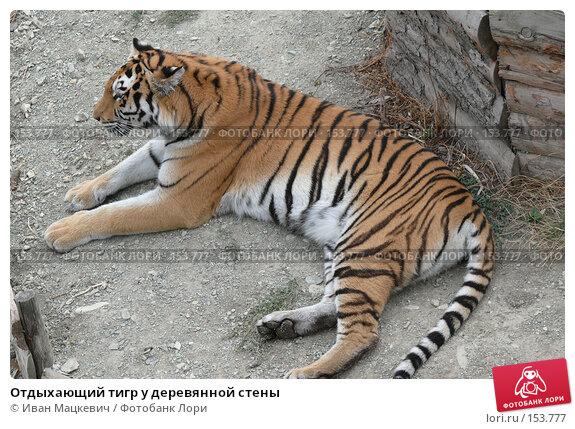 Отдыхающий тигр у деревянной стены, фото № 153777, снято 23 сентября 2007 г. (c) Иван Мацкевич / Фотобанк Лори