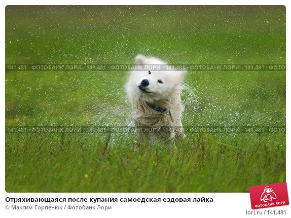 Отряхивающаяся после купания самоедская ездовая лайка, фото № 141481, снято 23 мая 2004 г. (c) Максим Горпенюк / Фотобанк Лори