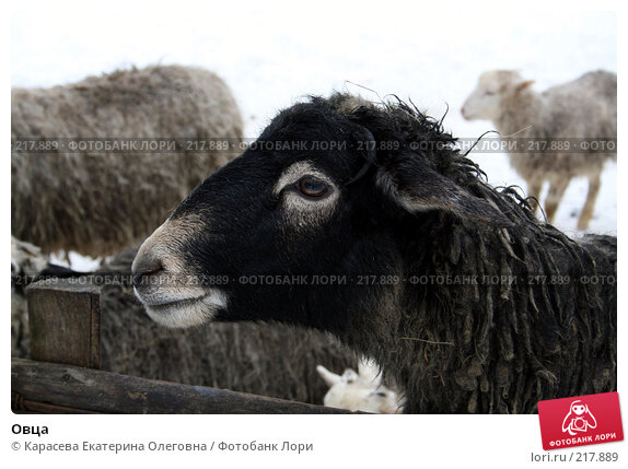 Овца, фото № 217889, снято 2 февраля 2008 г. (c) Карасева Екатерина Олеговна / Фотобанк Лори