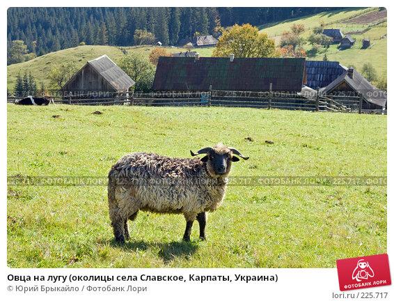 Овца на лугу (околицы села Славское, Карпаты, Украина), фото № 225717, снято 29 сентября 2007 г. (c) Юрий Брыкайло / Фотобанк Лори