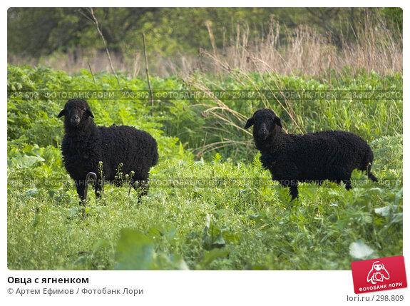 Овца с ягненком, фото № 298809, снято 2 мая 2008 г. (c) Артем Ефимов / Фотобанк Лори