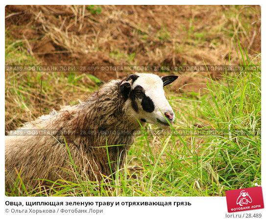 Овца, щиплющая зеленую траву и отряхивающая грязь, фото № 28489, снято 3 августа 2006 г. (c) Ольга Хорькова / Фотобанк Лори