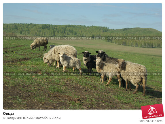 Овцы, фото № 318693, снято 24 мая 2008 г. (c) Талдыкин Юрий / Фотобанк Лори