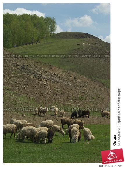 Овцы, фото № 318705, снято 24 мая 2008 г. (c) Талдыкин Юрий / Фотобанк Лори